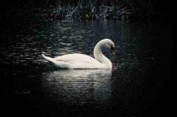swan (1)